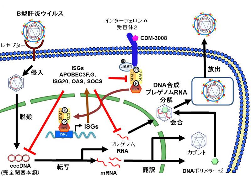 B型肝炎ウイルス抑制物質の作用機序解明 -新規抗B型肝炎治療薬の開発 ...