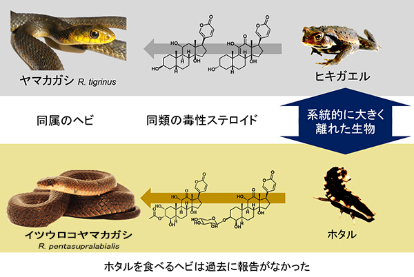 ヤマカガシ ヤマカガシの生態、特徴、保護した場合の注意点