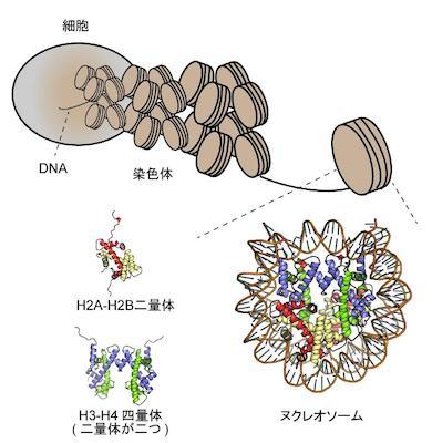 染色体におけるDNA折りたたみのイメージ図
