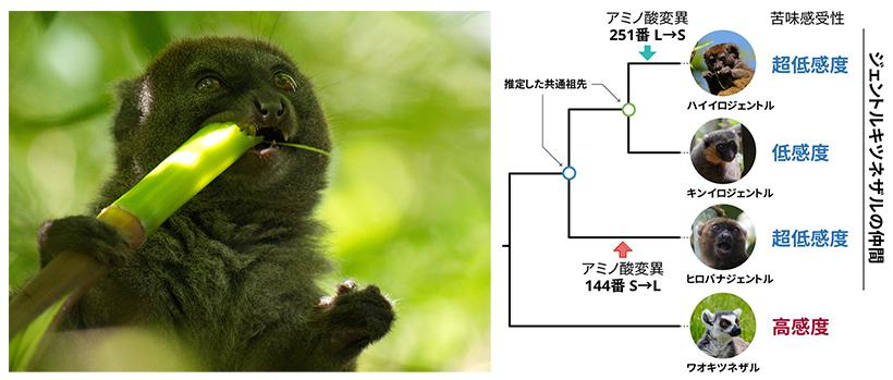 (左)竹を食べるハイイロジェントルキツネザル(c)糸井川壮大(右)本研究のまとめ