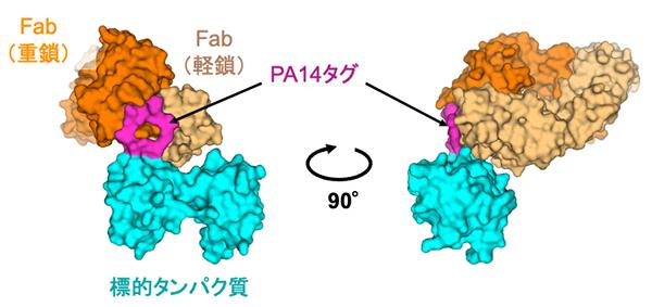 PA14タグの移植によって作製した抗体断片と標的タンパク質の複合体