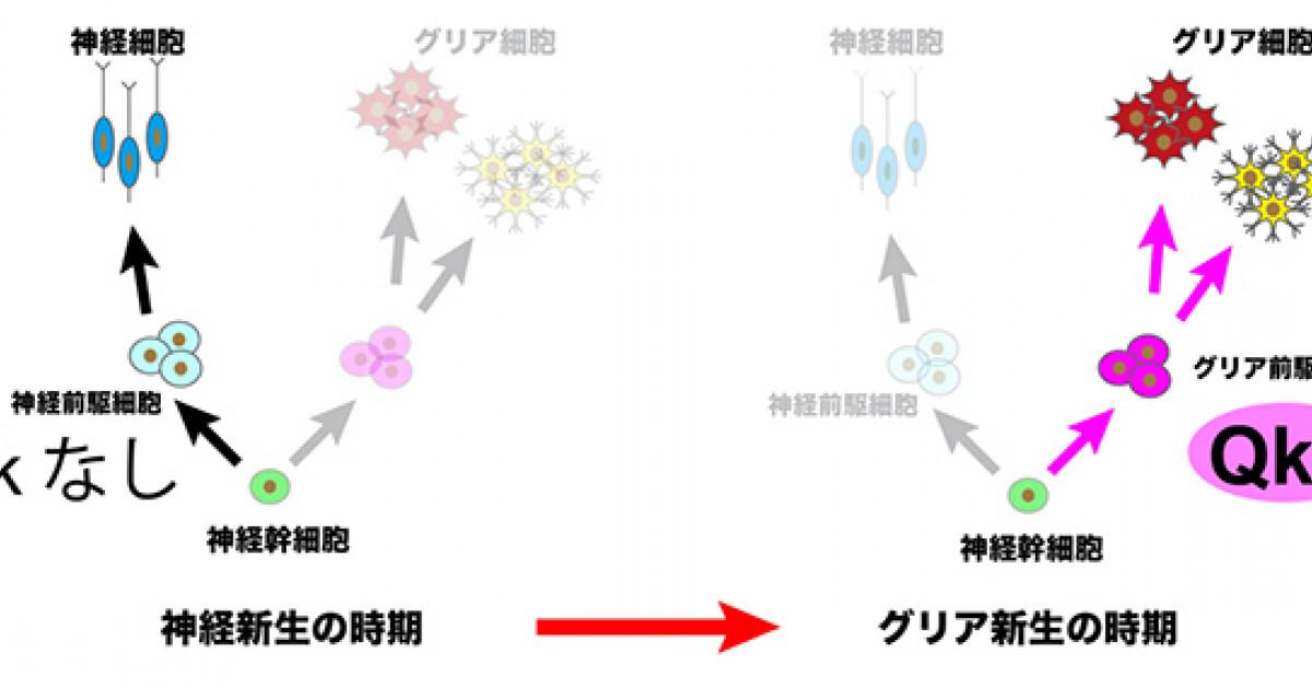 グリア 細胞 と は