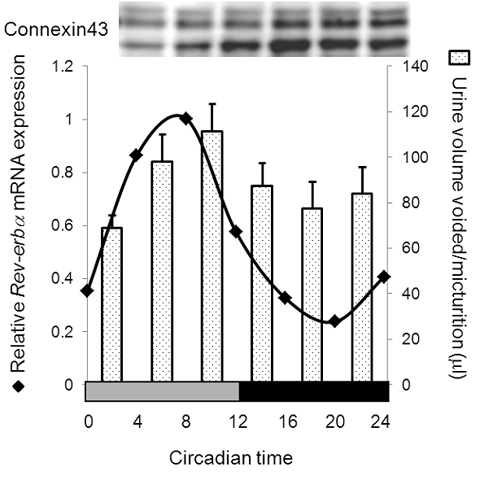 The circadian clock in the bladder supports urination — Kyoto University